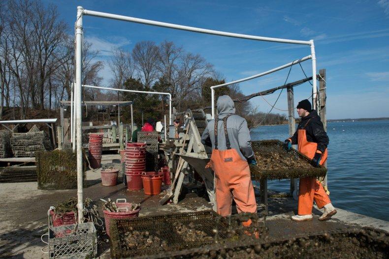 maryland oysters FDA