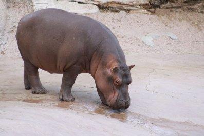 Timothy san antonio hippo