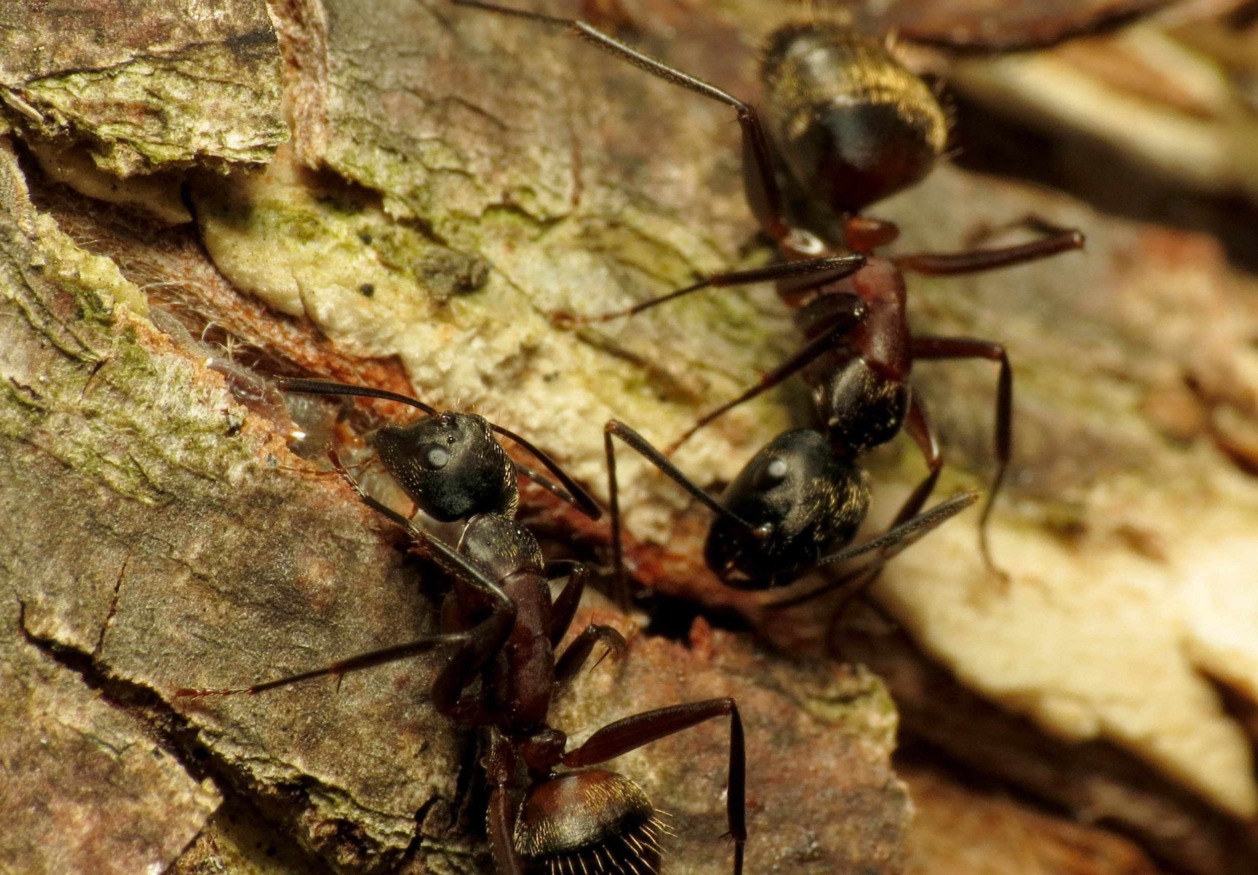 Carpenter_Ants_-_Flickr_-_treegrow