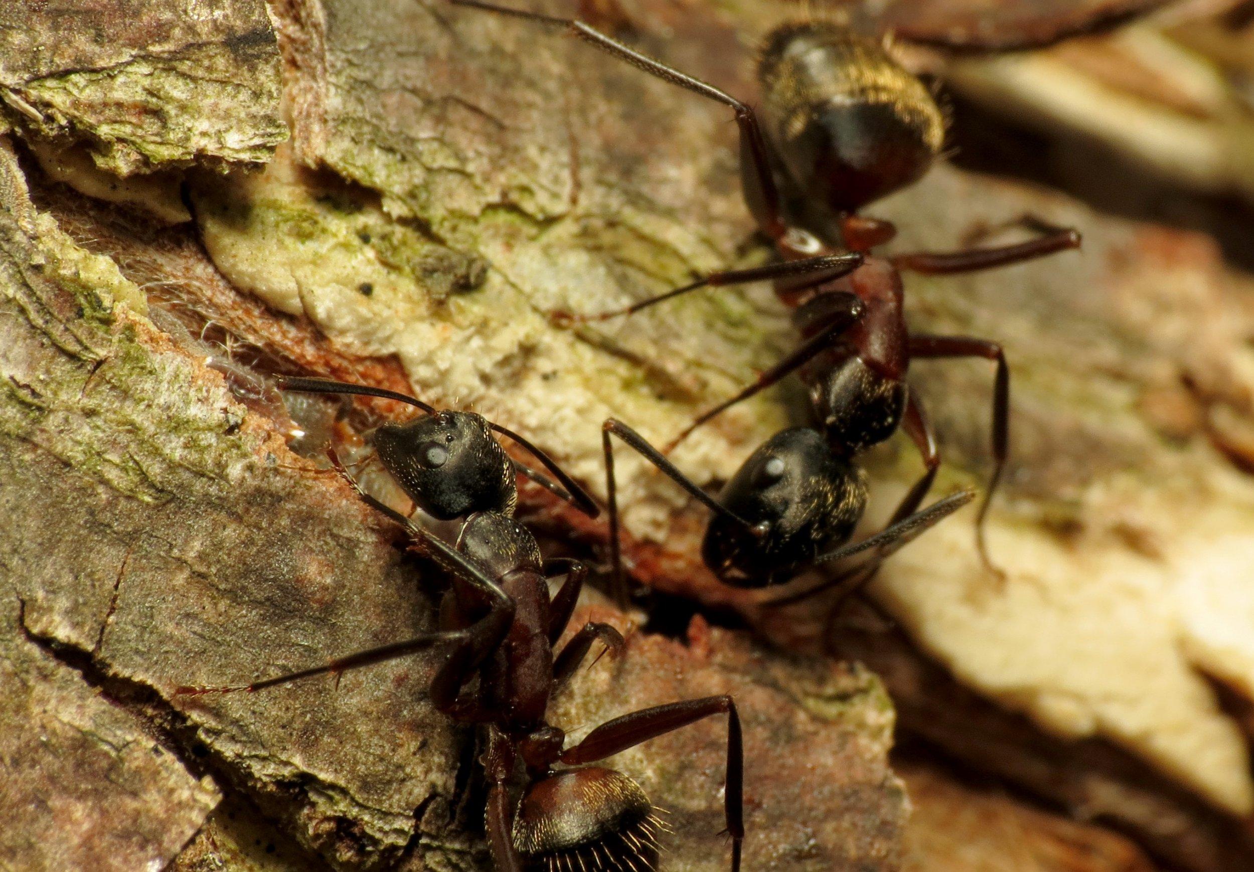 Carpenter_Ants_-_Flickr_-_treegrow