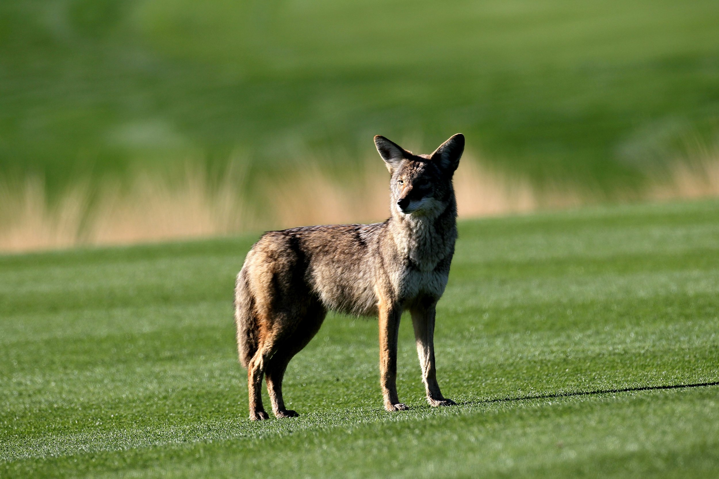 Coyote Attacks Young Girl Outside of Her House