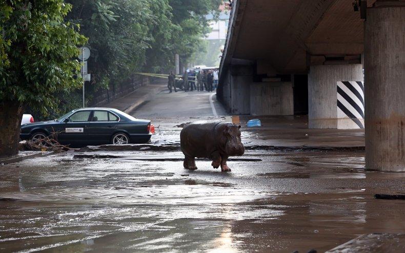 Hippo escapes zoo Georgia