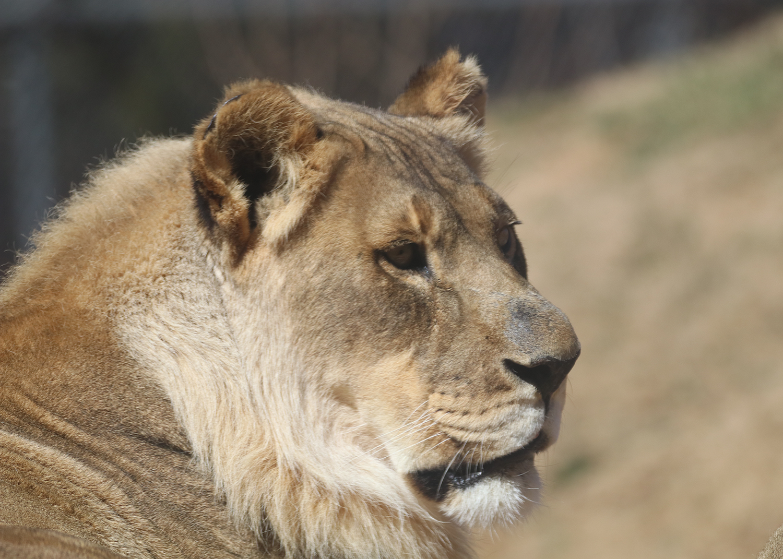 OKC Zoo Bridget Lion February 2018 Photo Credit Sabrina Heise