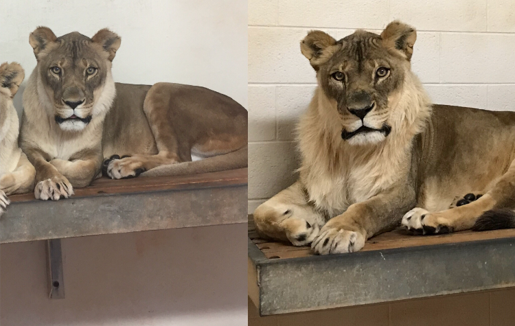 OKC Zoo Lion Bridget Comparison Photo Credit Amanda Sorenson