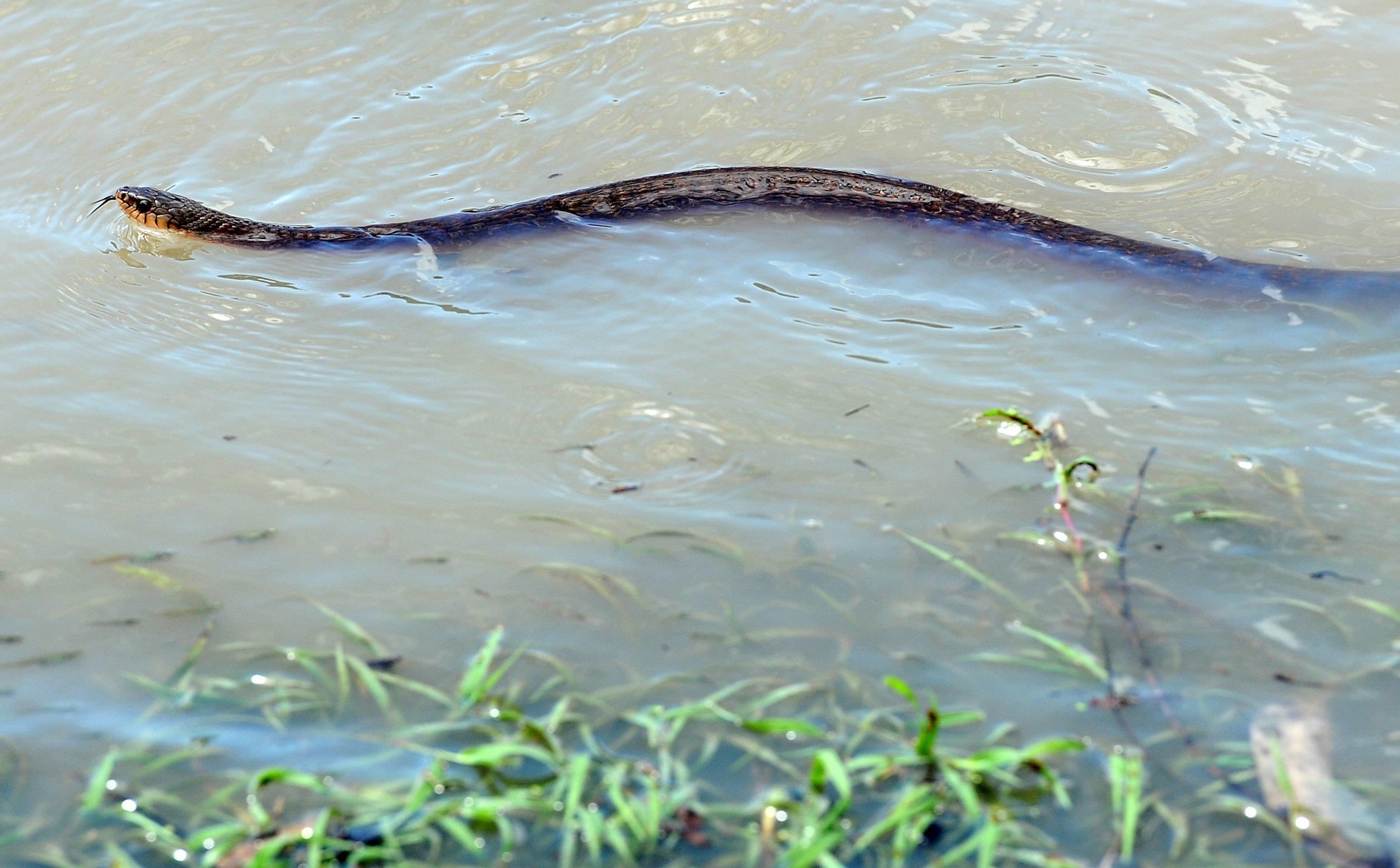 Foto ular raksasa di laut merah 46