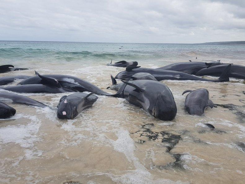 Pilot whales beached in Australia