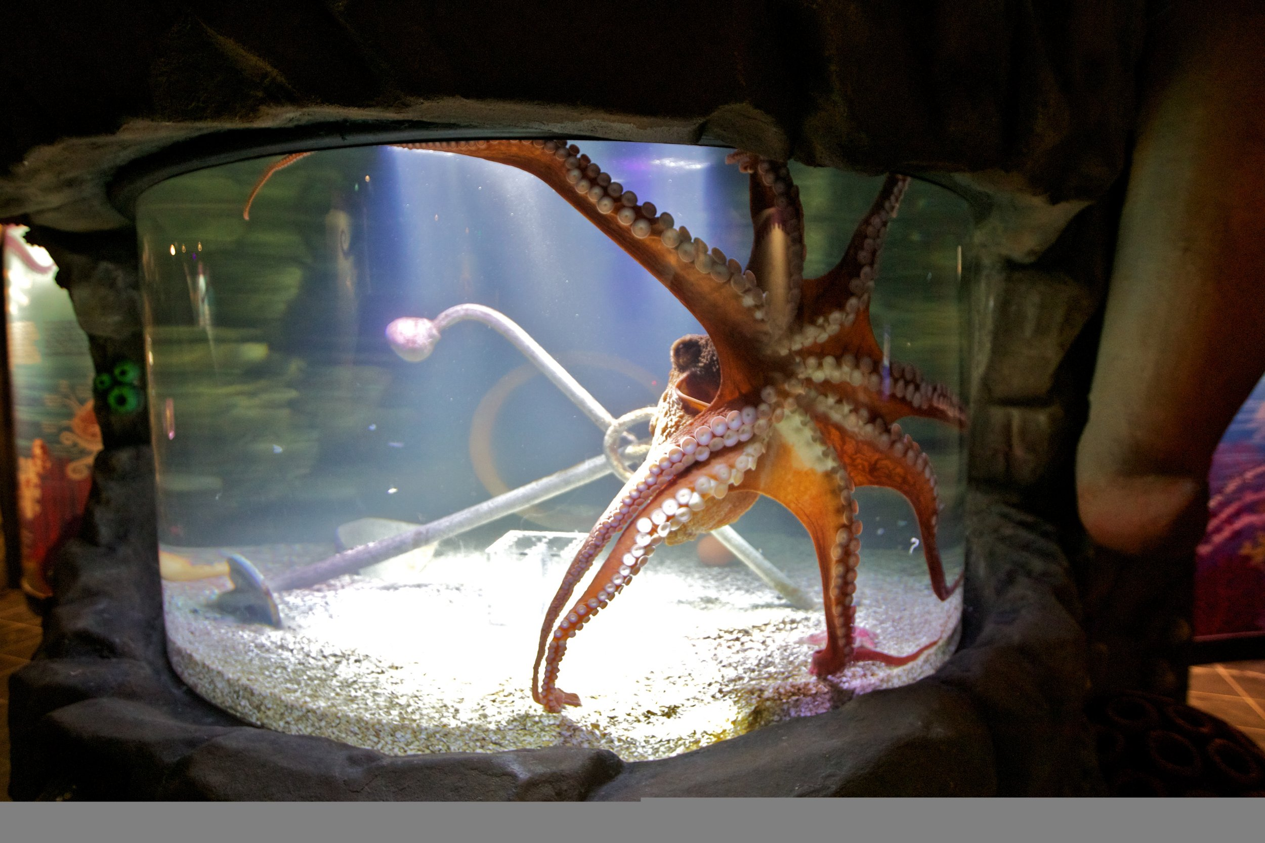 watch giant pacific octopus takes tentacle selfie with gopro