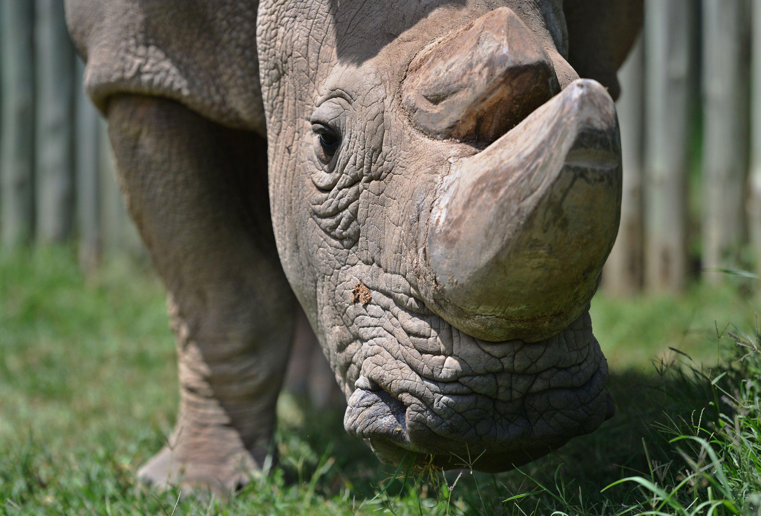 4_1_Sudan Rhino
