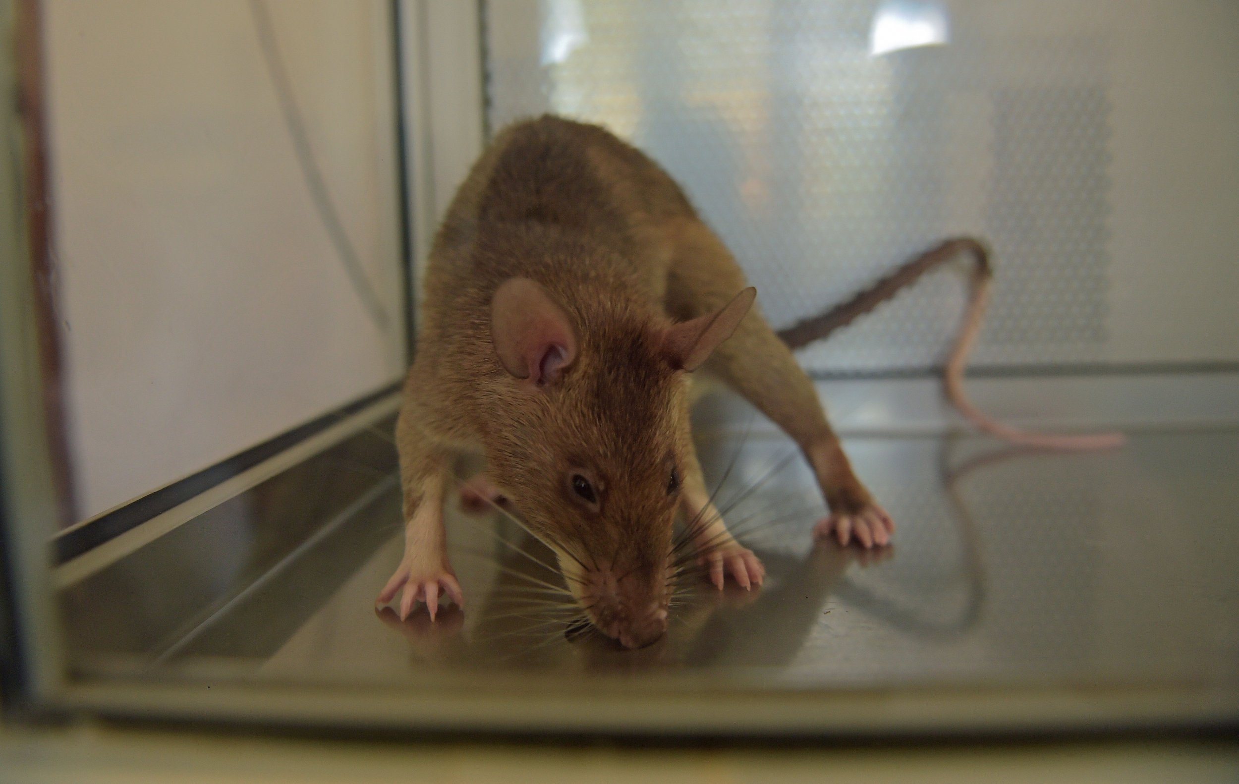 Scientists are using rats to sniff out deadly disease in children with greater accuracy than standard tests