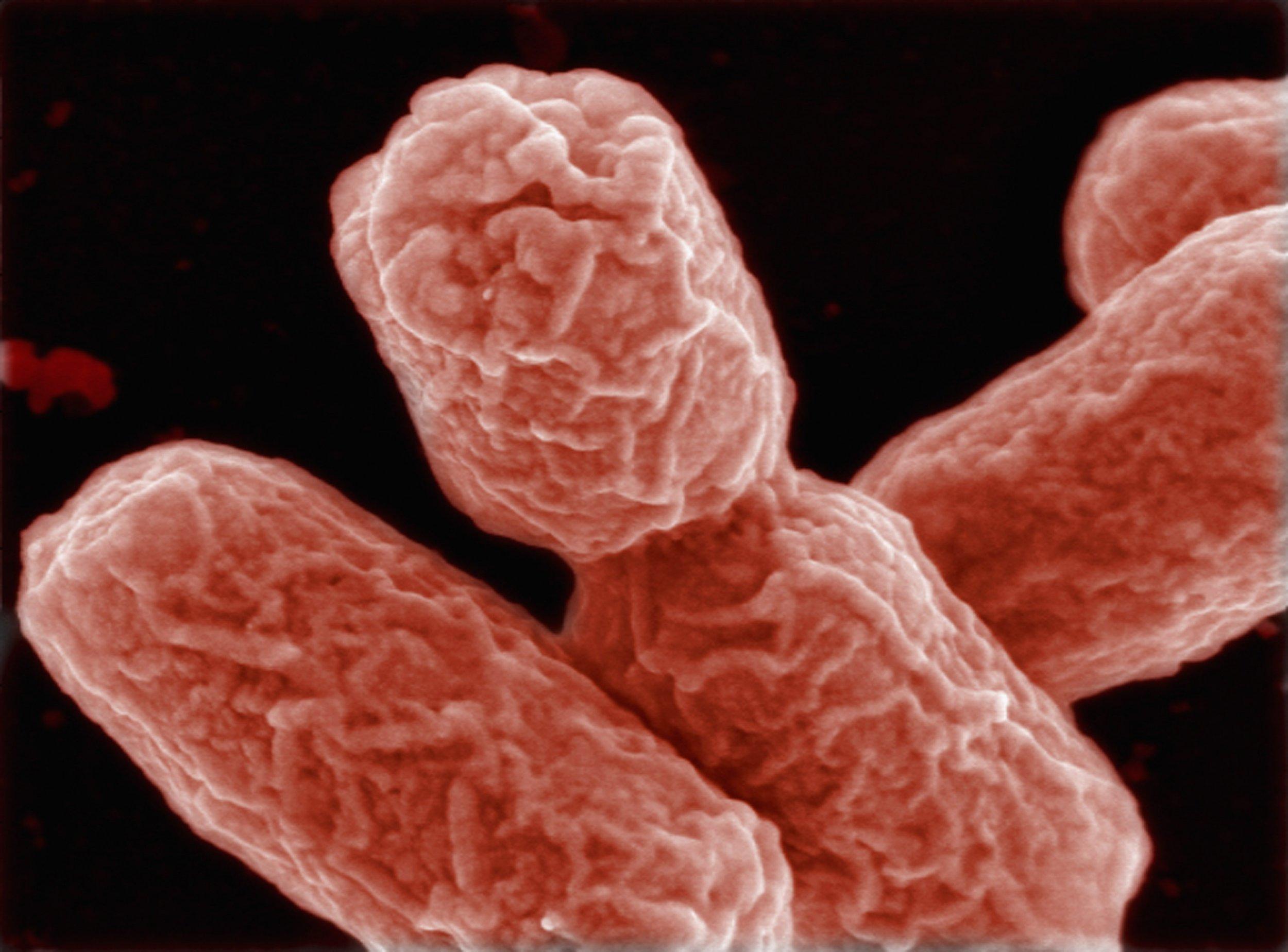 ehec-bacteria