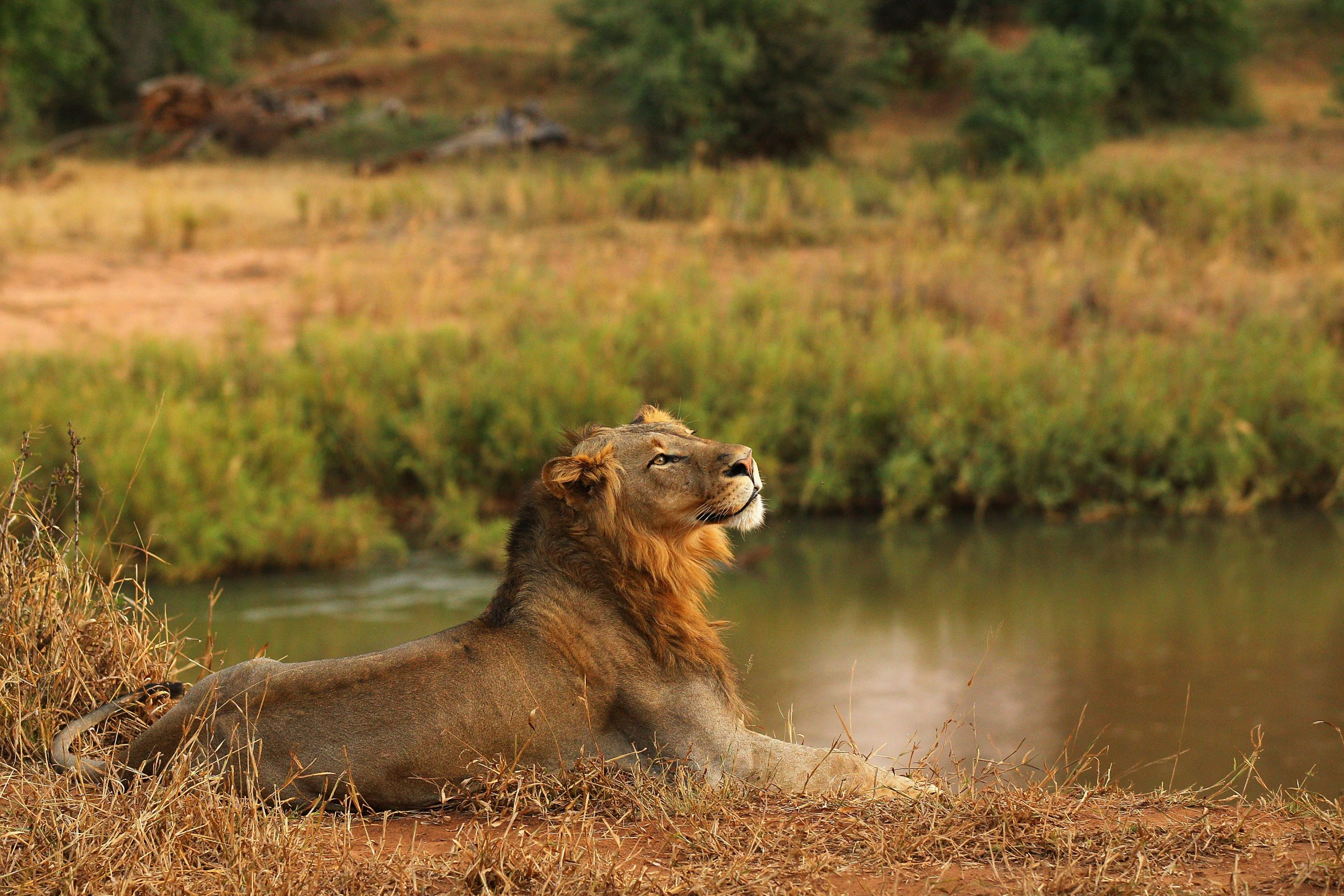 11 Lions Killed in Suspected Mass Poisoning