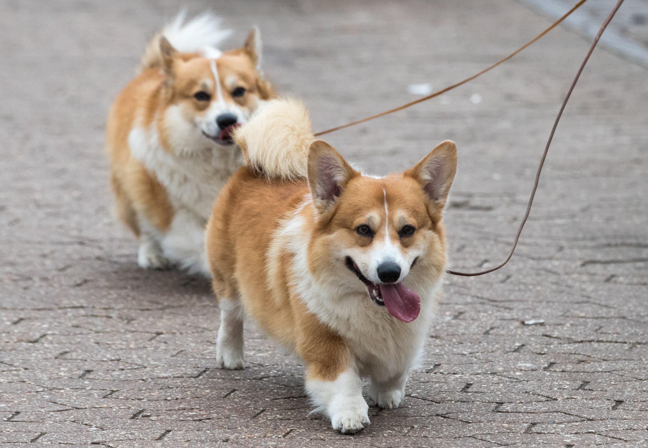 Welsh corgis dogs