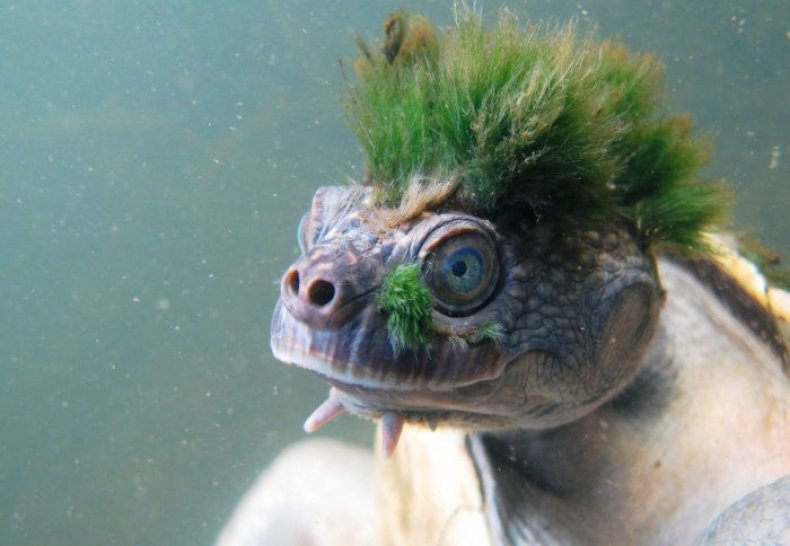 mary-river-turtle