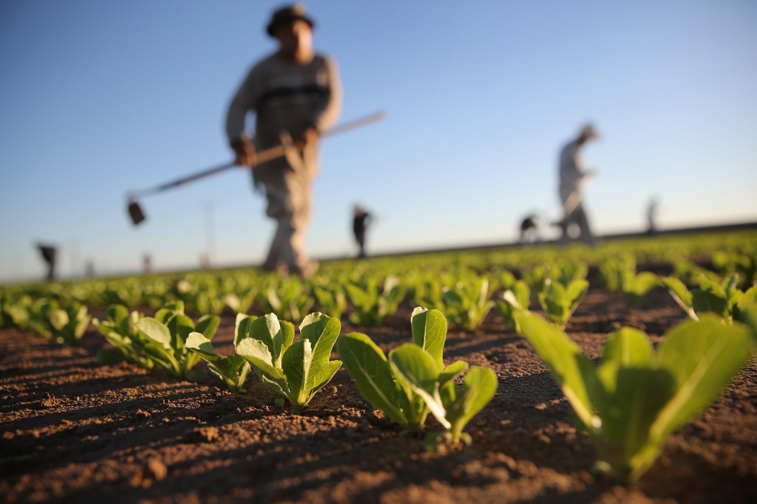 Holtville California Romaine Lettuce
