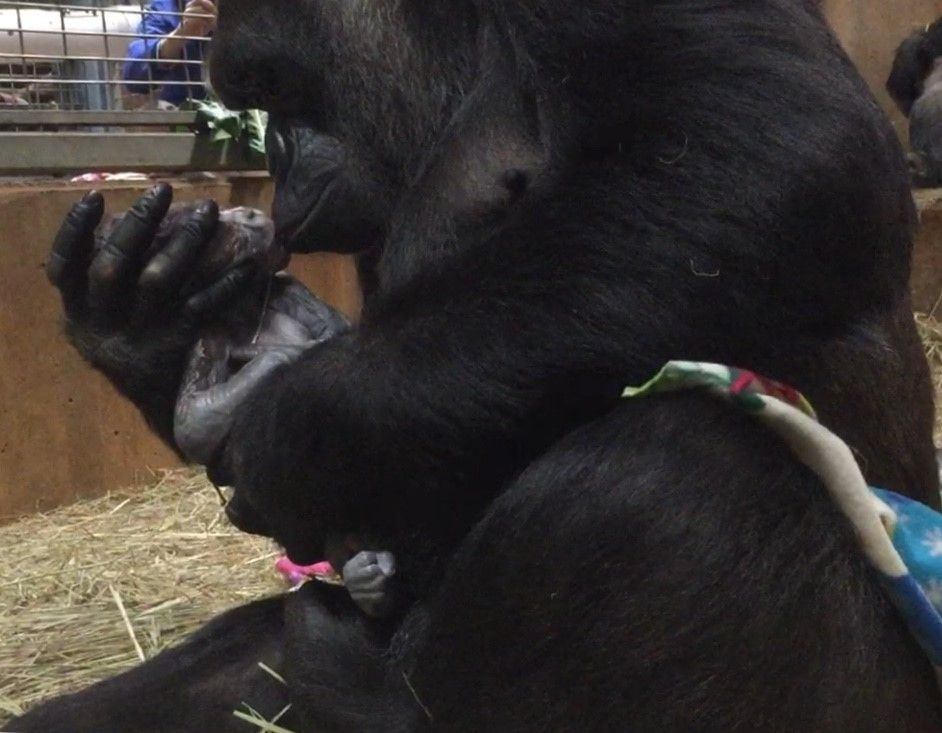 Watch: Gorilla gives birth to first son Moke at Smithsonian Zoo