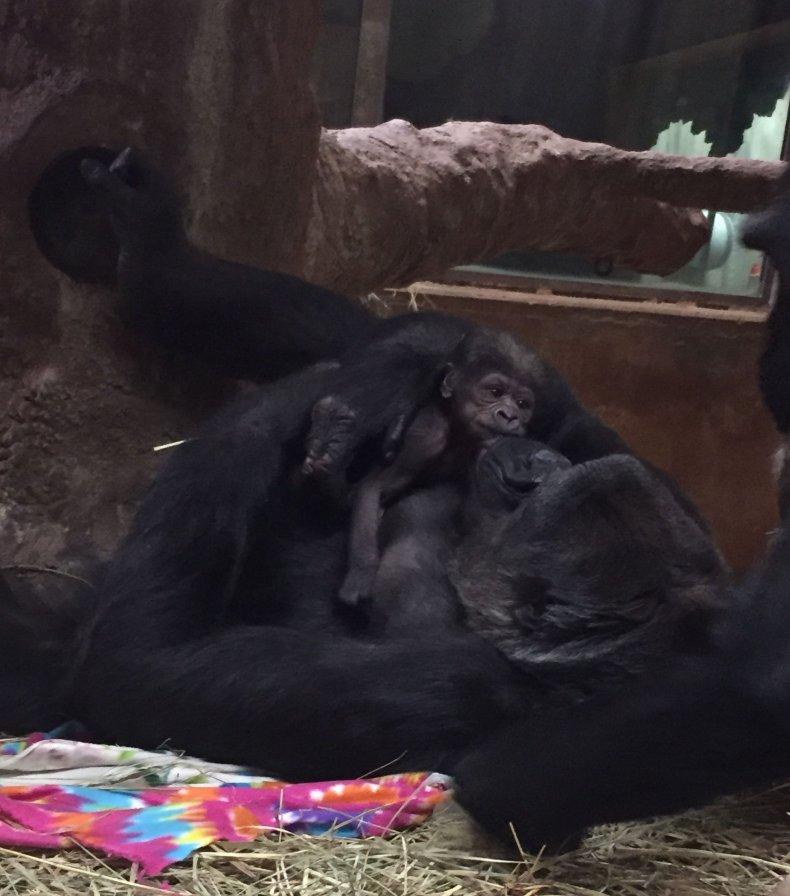 Moke Gorilla baby SMithsonian