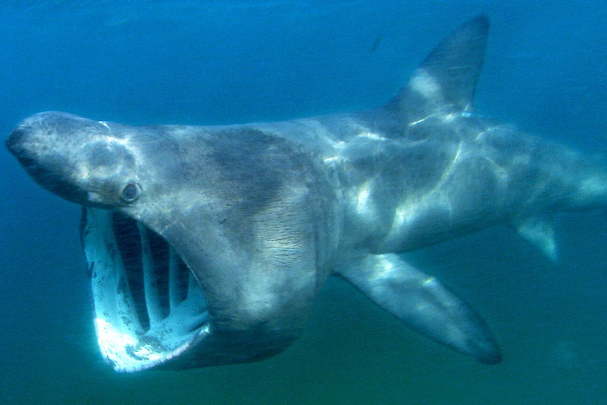 Groups of up to 1,400 Sharks Gather off North American ...