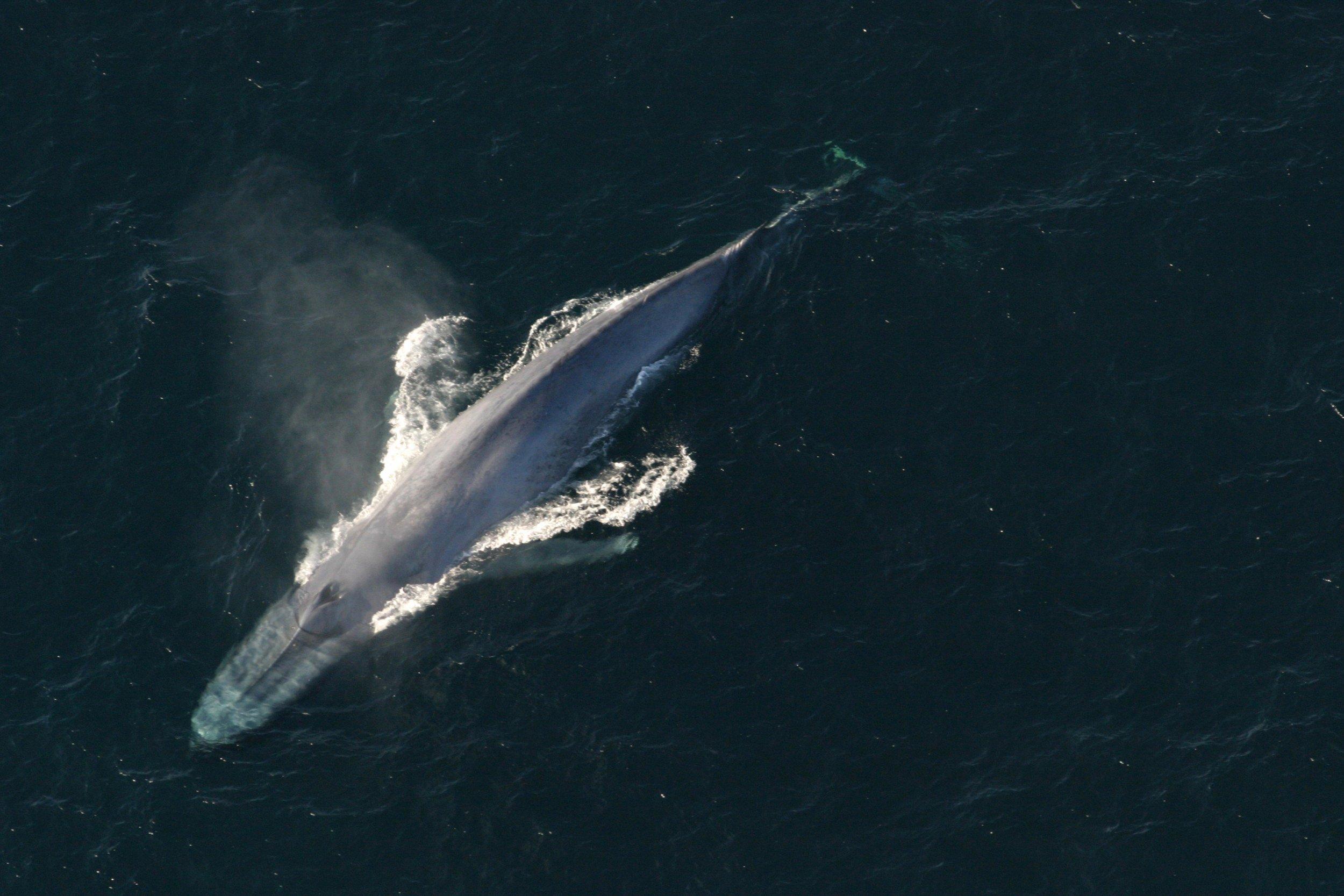 04_18_blue_whale