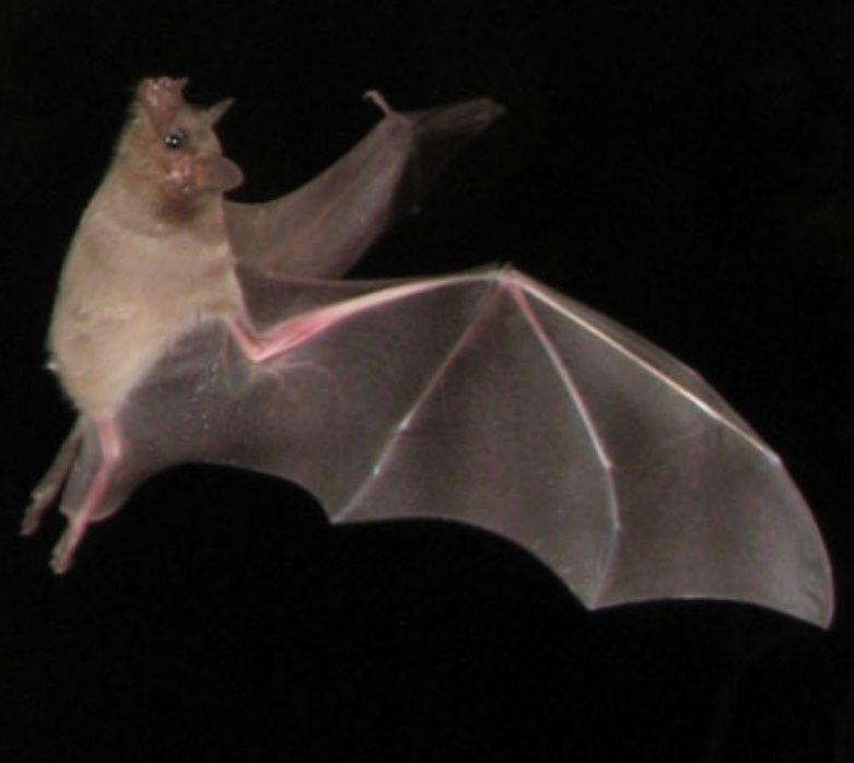 lesser-long-nosed-bat-2