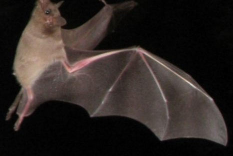 lesser-long-nosed-bat-2
