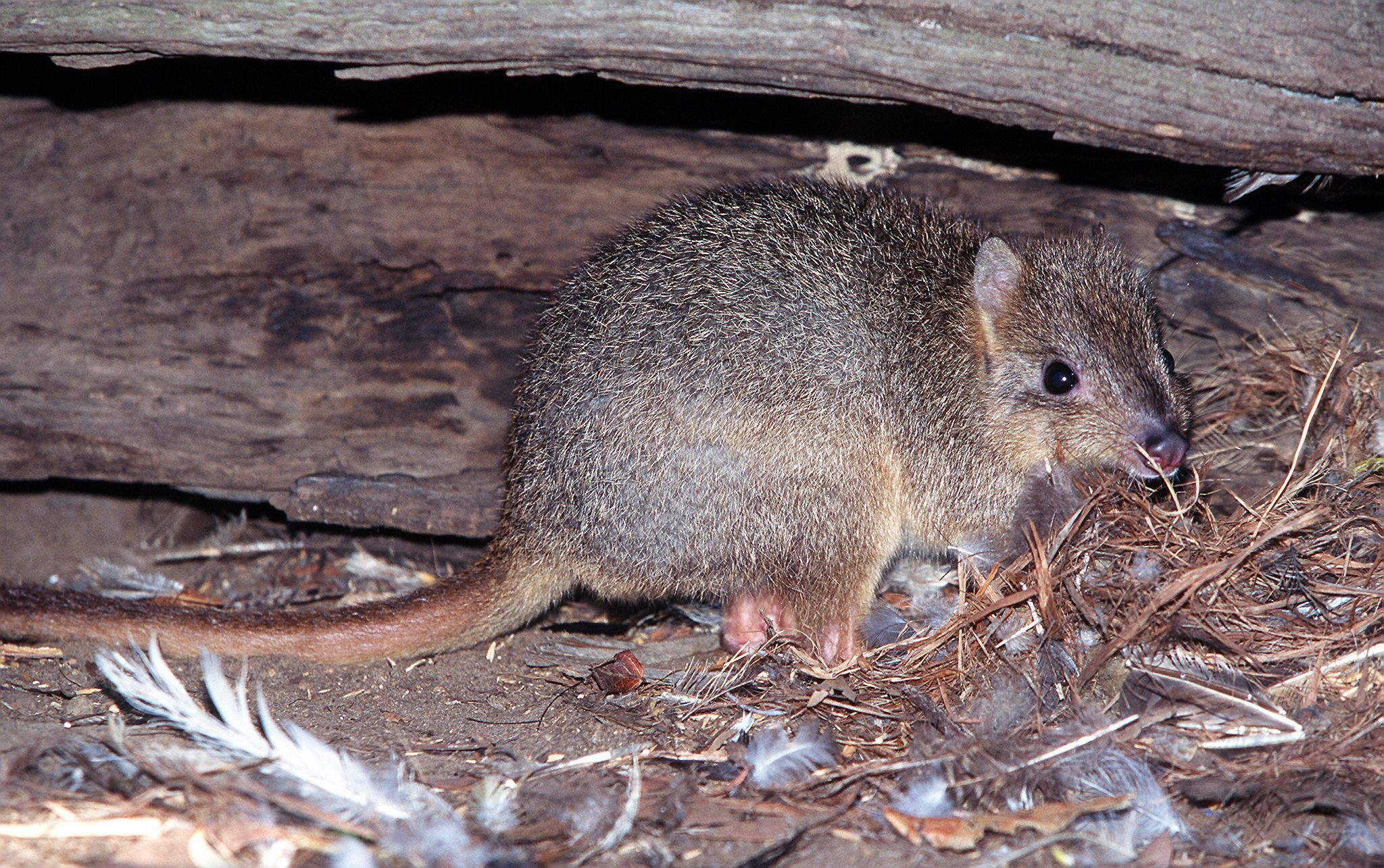 Burrowing_Bettong