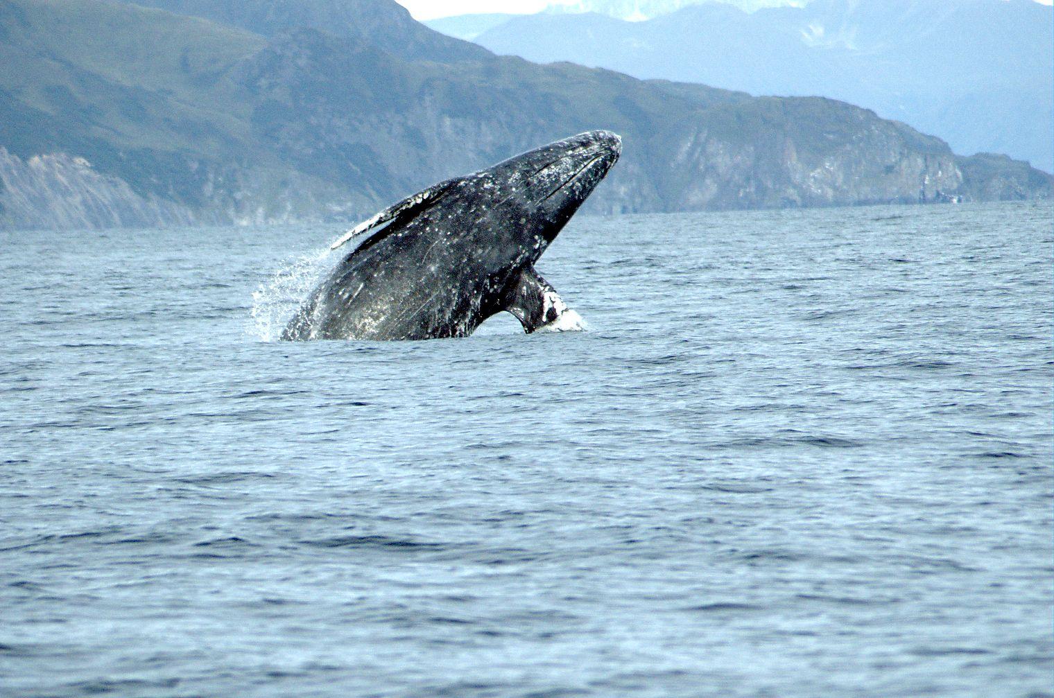 graywhale-merrillgosho_noaa