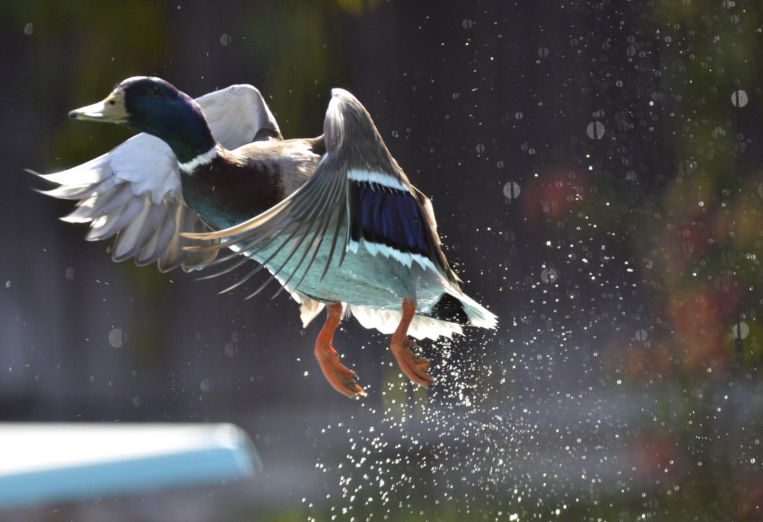 04_23_Duck