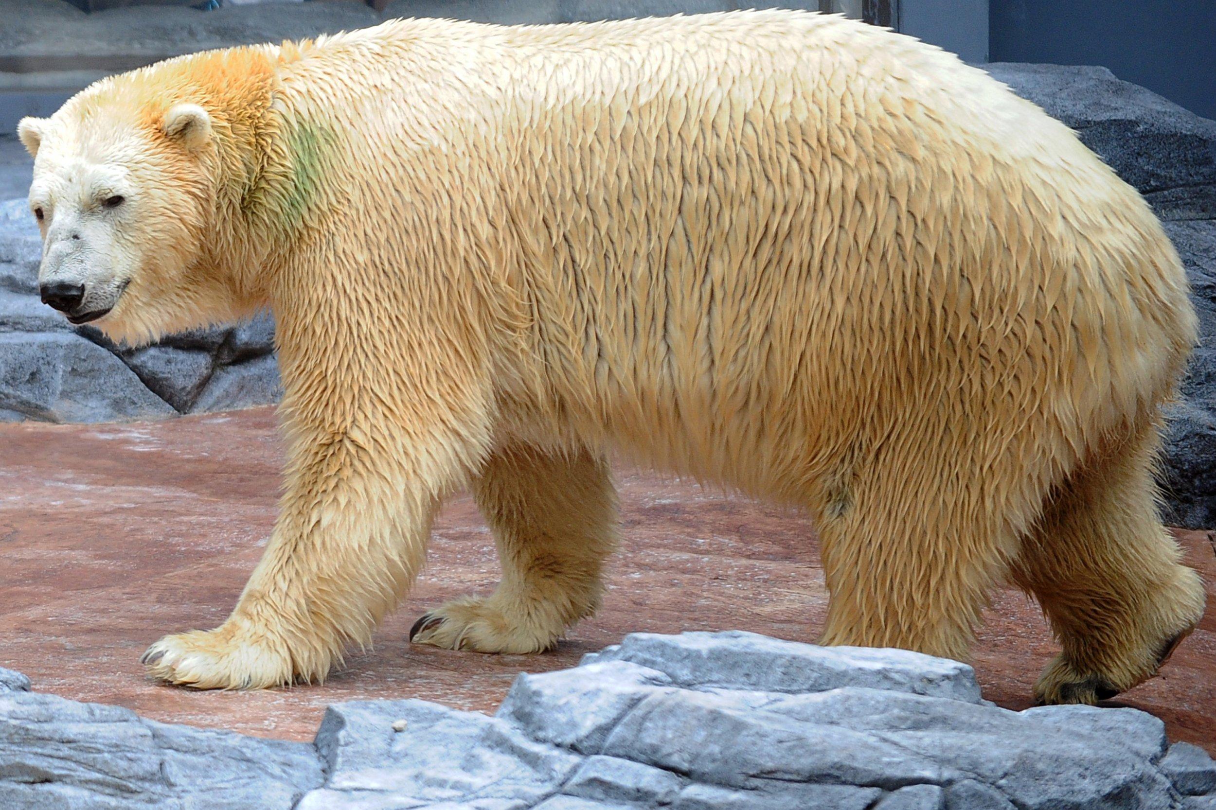 Polar Bear 42 D 25 First Tropical ...