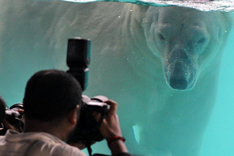 Inuka polar bear