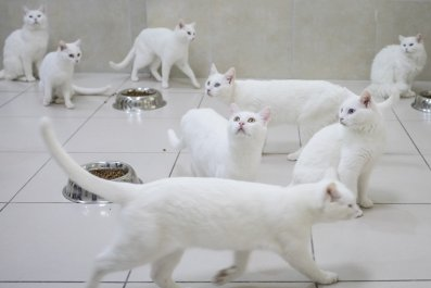 white cats turkey research