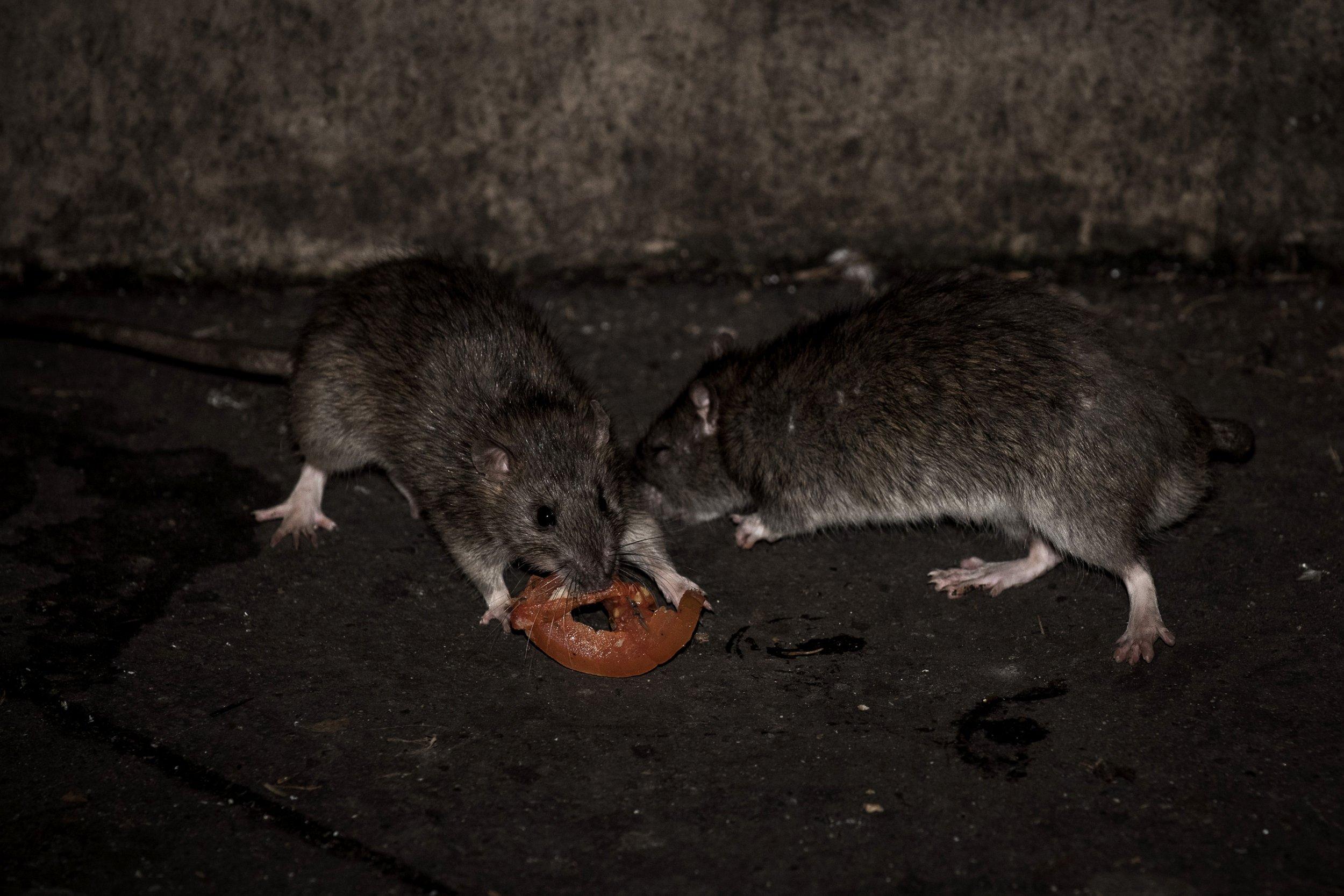 4_27_Rats