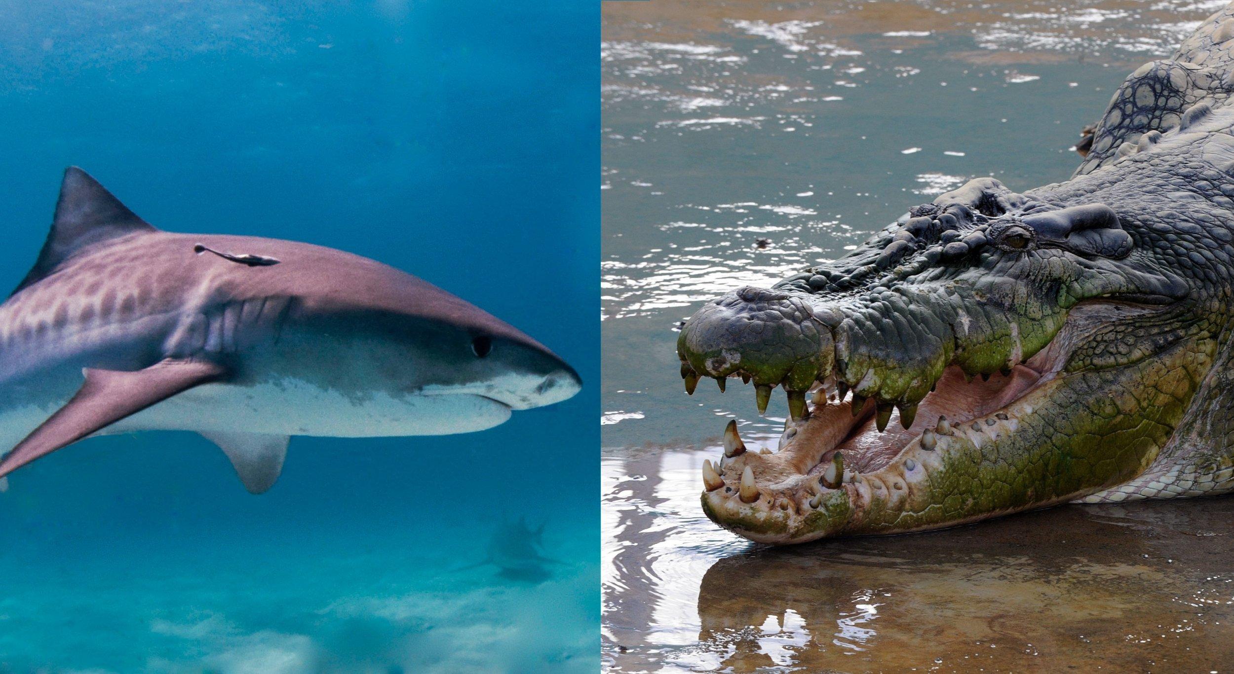 Shark and croc