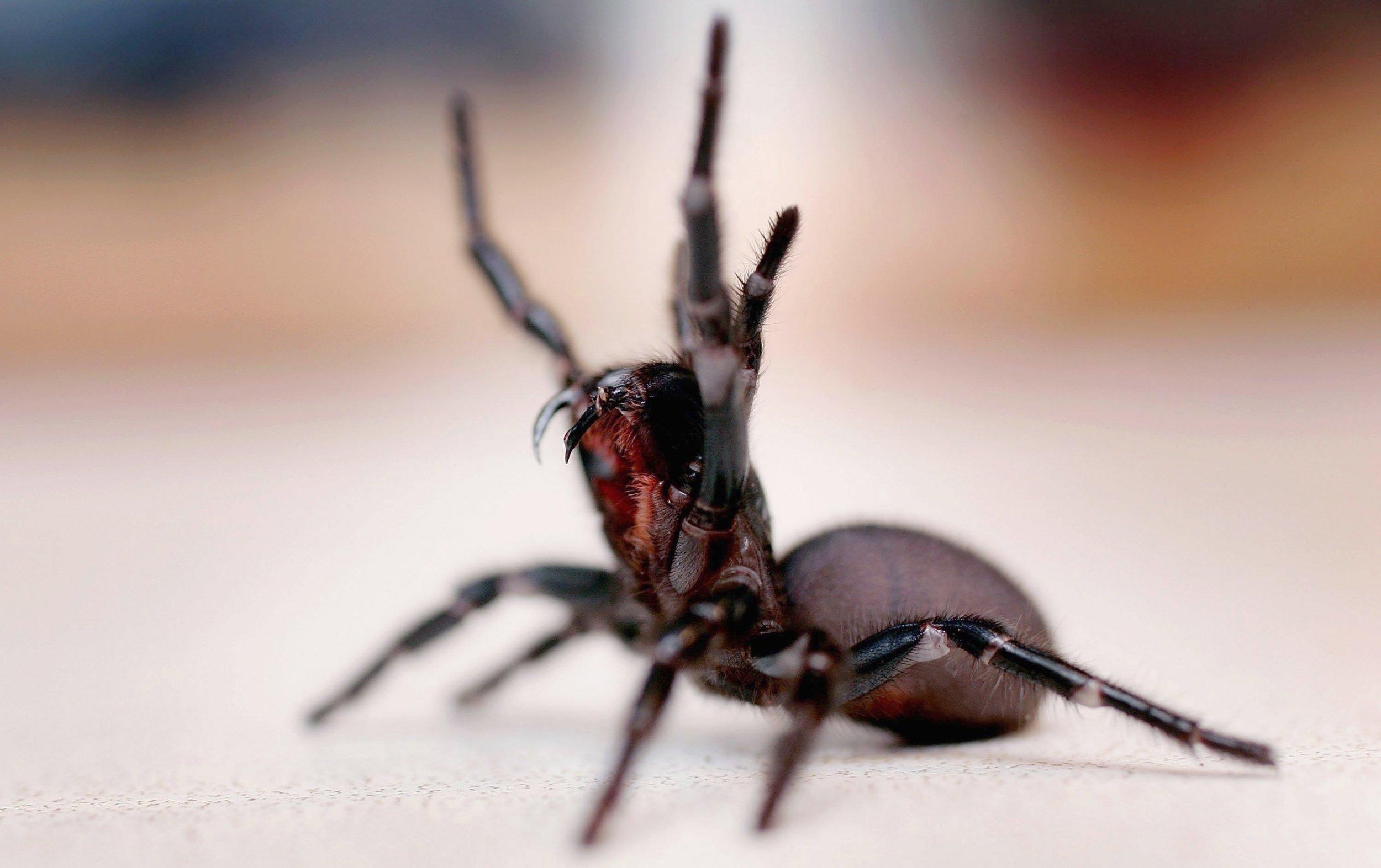 4_30_Funnel Web spider