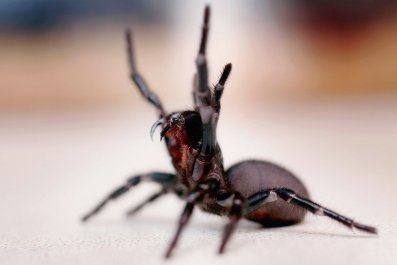 4_30_Funnel Web spider