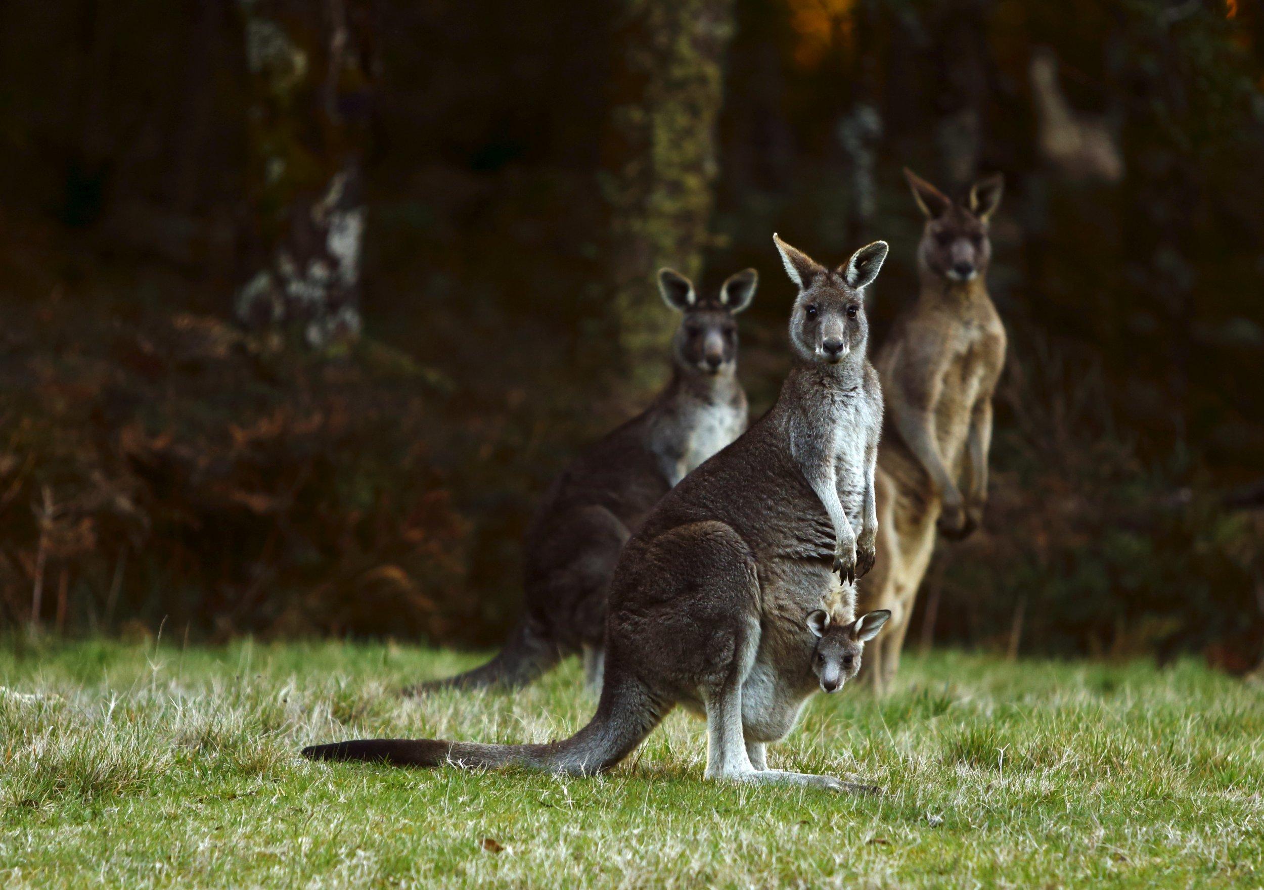 05_02_Kangaroos