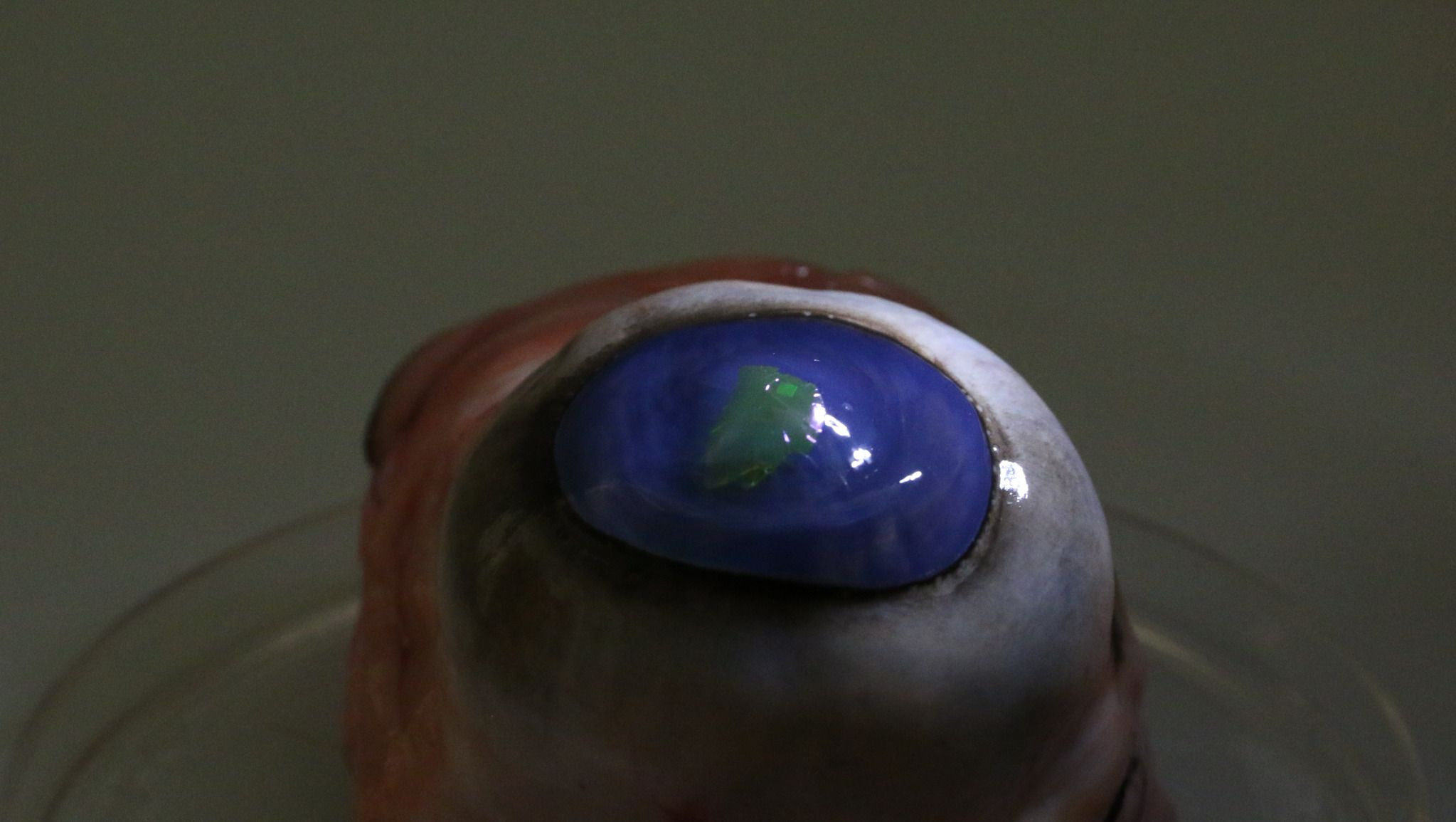 laser on a contact lens on a cows eye_preview