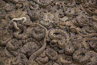 rattlesnake salmonella pills
