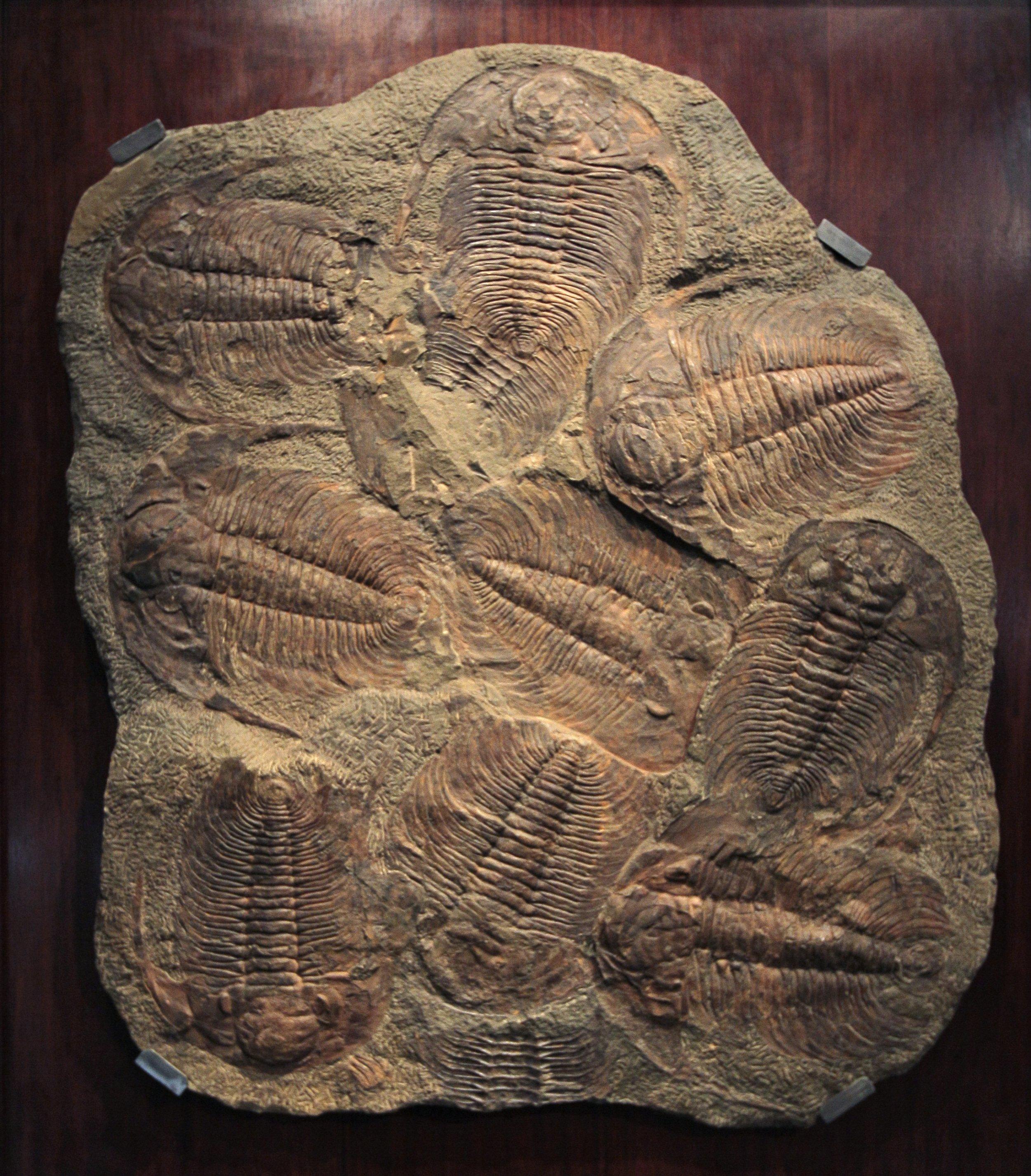 5_4_Tribolite fossil