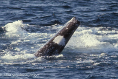 whale without tail