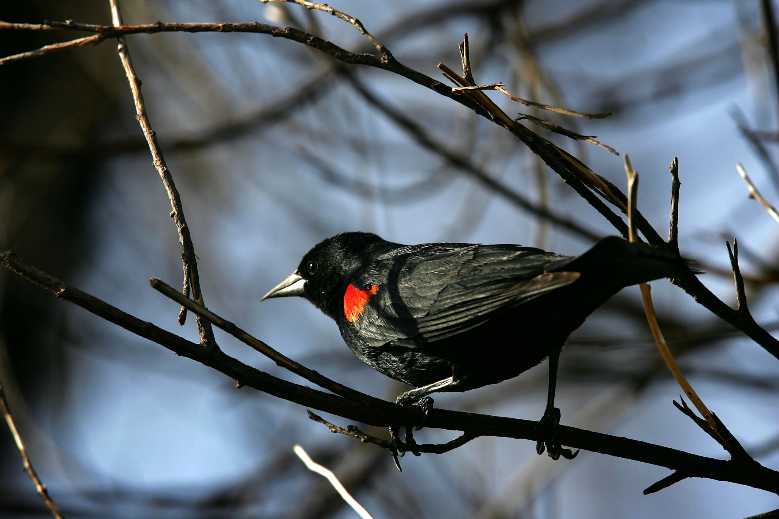 05_10_red_winged_blackbird