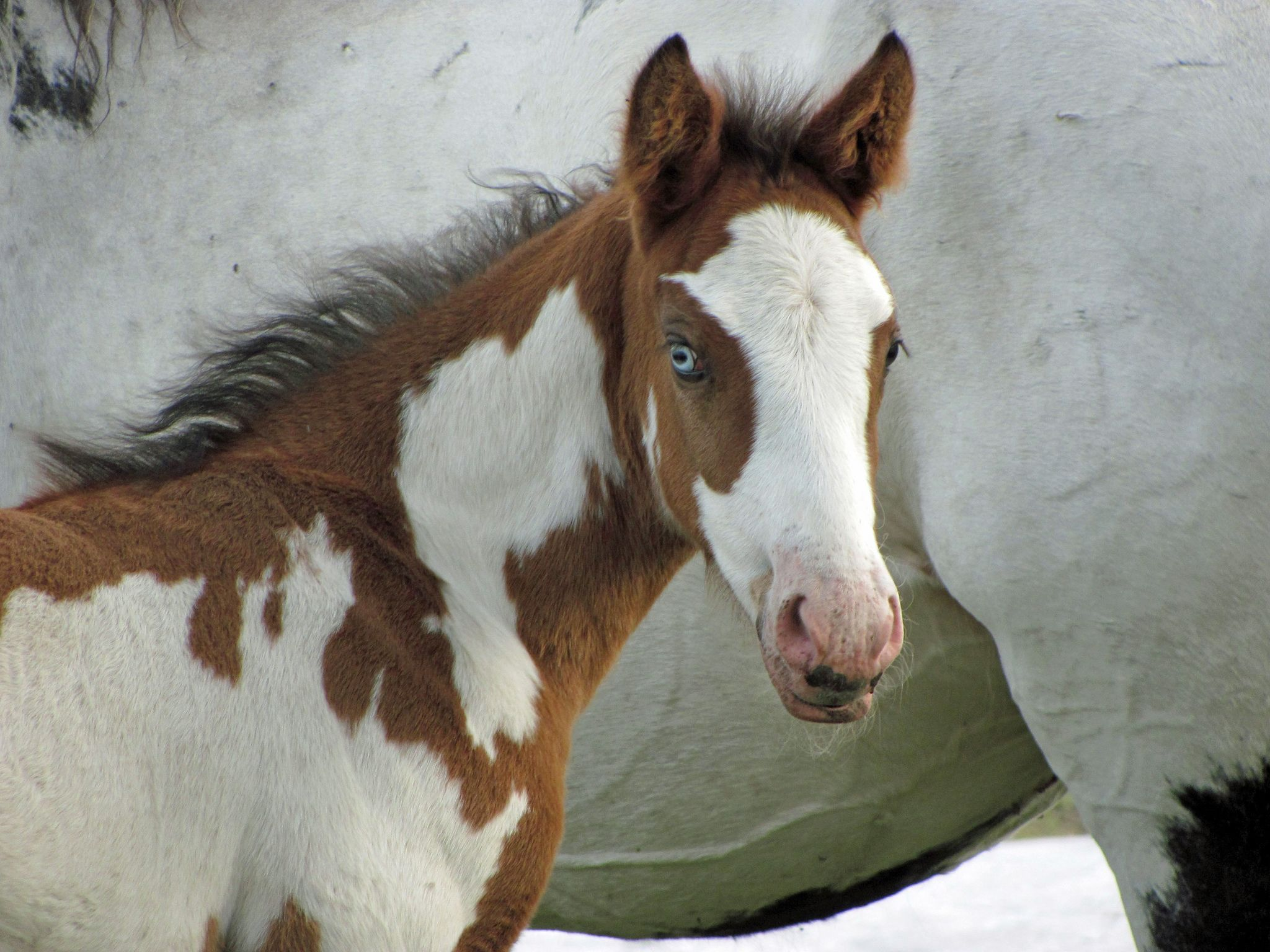 Wild Horse Management Plan Would Guarantee Extinction Mustang Advocates Say