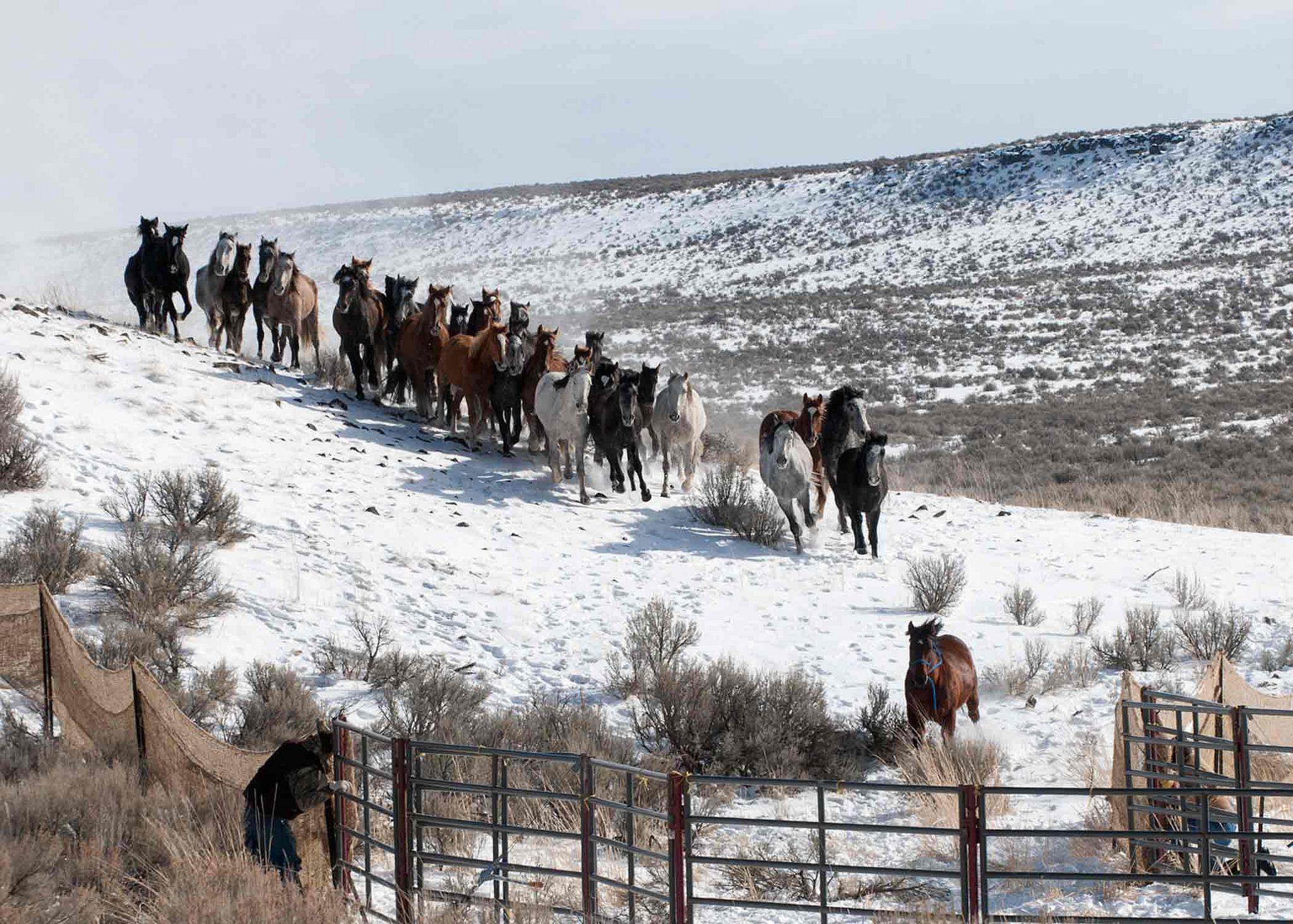 FebRoundup Wild Horses