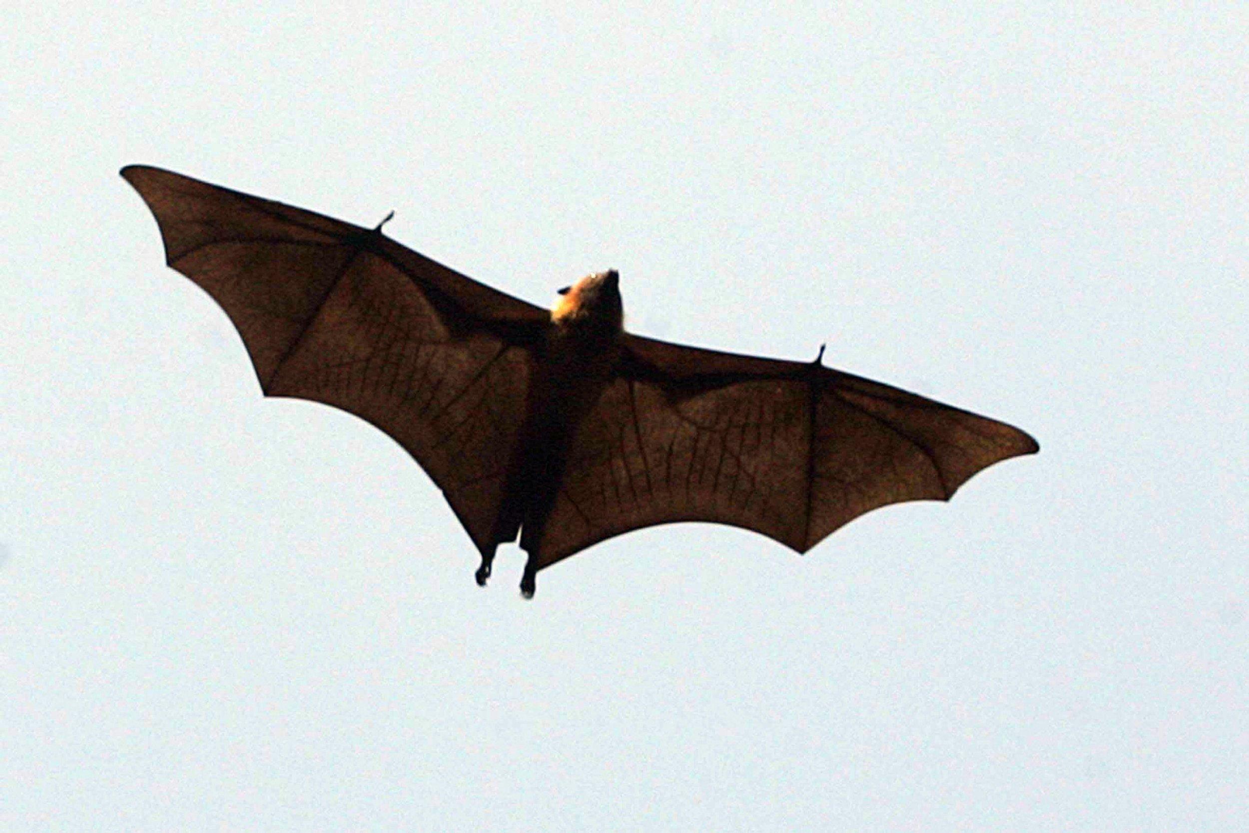 giant bat