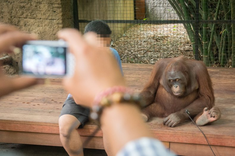 Orang-utans are kept in captivity where some are used for selfie opportunities and entertainment