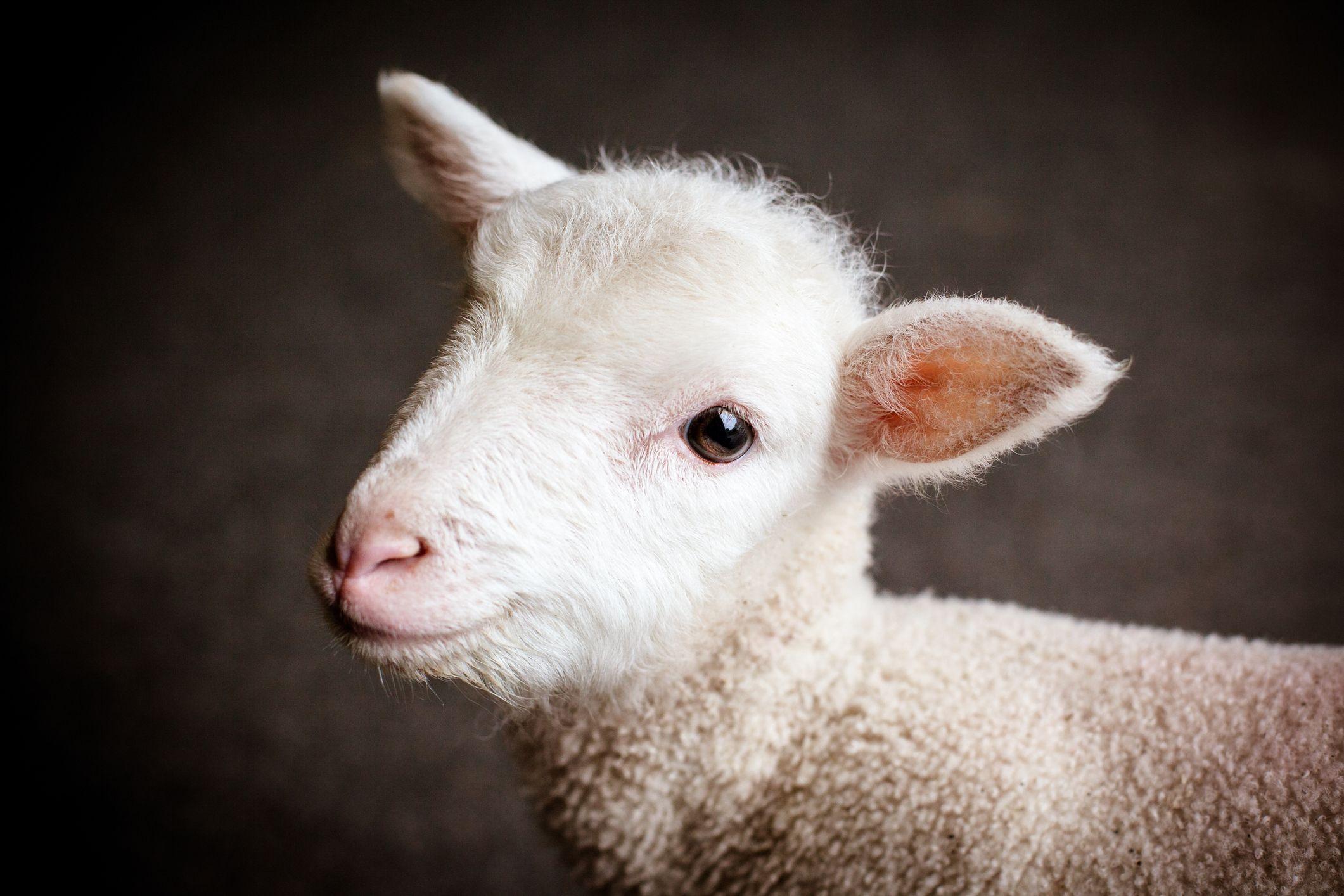 sheep-lamb-farm-stock