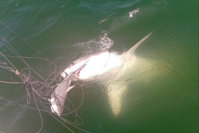 6_12_Hungry Great White Shark