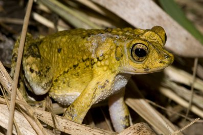 Puerto_Rican_crested_toad