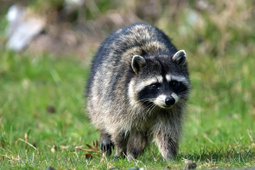 Where Is Minneapolis Raccoon Now? The Little Climber Has ...