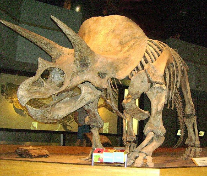TriceratopsTyrrellMuseum1