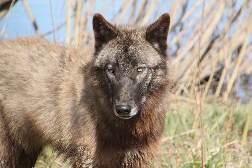 0619-graywolf